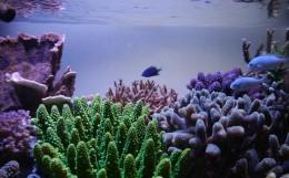 サンゴ飼育