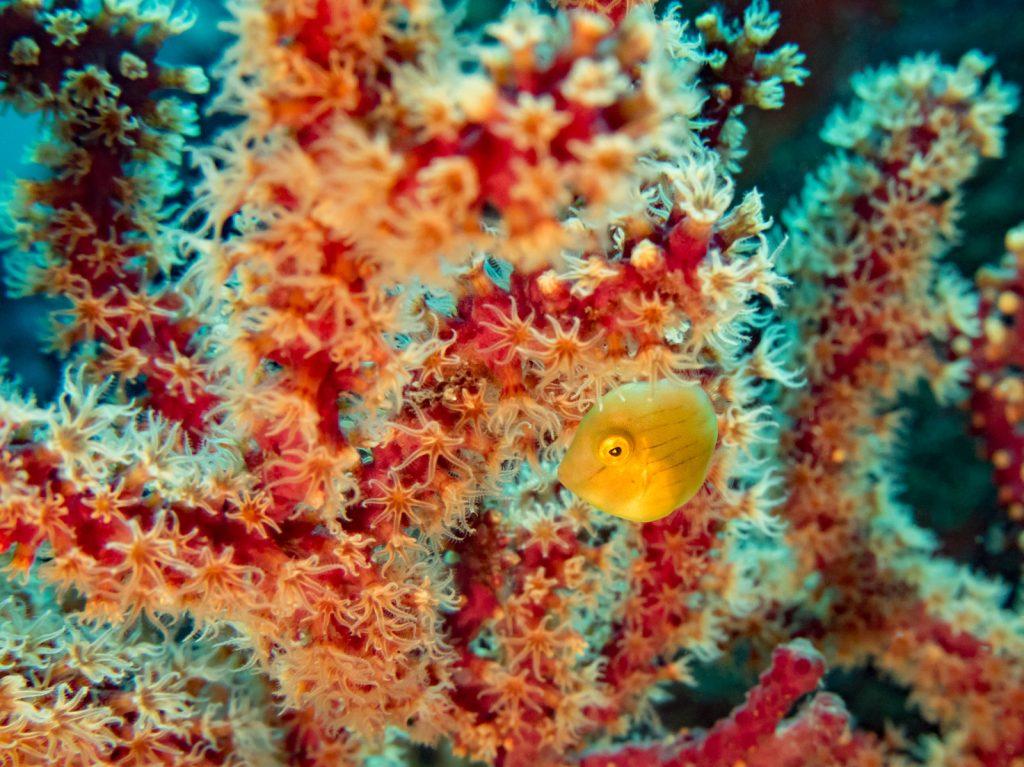 サンゴのポリプ
